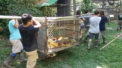 Volunteers working hard moving the sedated jaguar