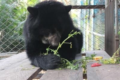 Lucho the male spectacled bear enjoying a new diet and some fresh alfalfa