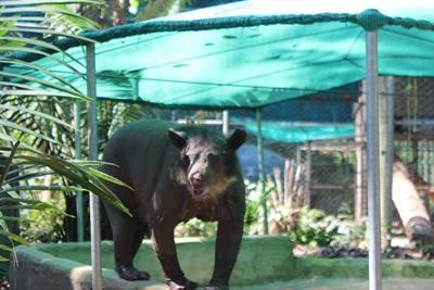 Cholita the elderly specatcled bear enjoying a wander around her covered pool