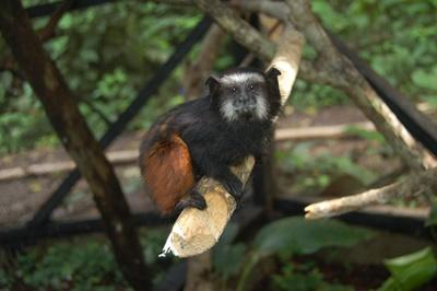Small monkeys such as this tamarin will he happy in the new enclosure we have just finished