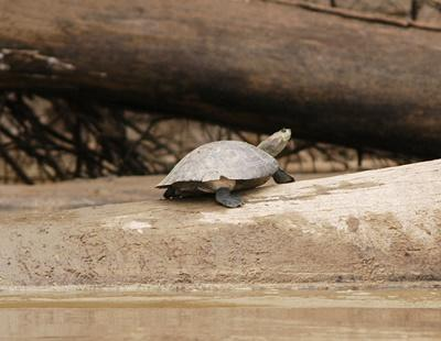 A freshwater turtle with the mark of Taricaya basking in the sun