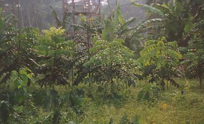 Mahogany trees growing at the farm