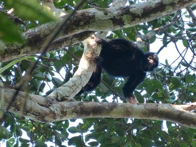 Released Peruvian Spider Monkey
