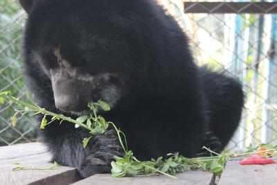 Spectaceld bear enjoying breakfast