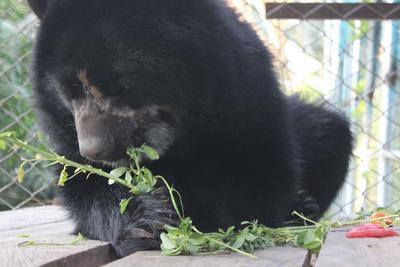 Spectaceld bear enjoying breakfast