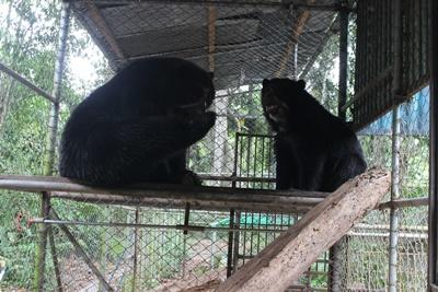 The two spectacled bears Lucho and Sabina getting to know each other as they  are placed in the same enclosure.
