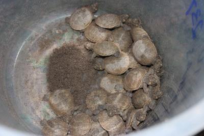 The first baby Taricaya turtles to hatch in 2016