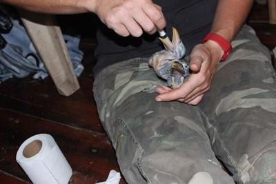A volunteer feeds our two rescued toucan chicks