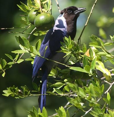 A magnificent Violaceous Jay spotted from the canopy platform