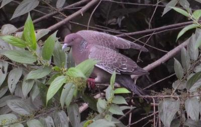 Picazuro Pigeon a new sighting for Peru