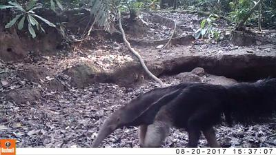 Giant Anteater caught on video by the mammal colpa