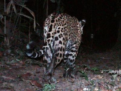 Jaguar caught on sensor camera walking through the forest