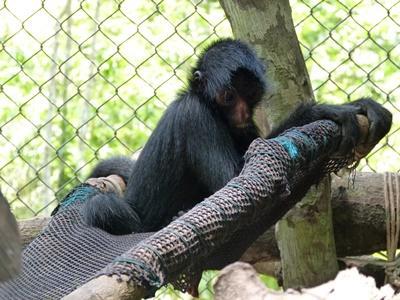 Peruvian Spider Monkey resting in a hammock
