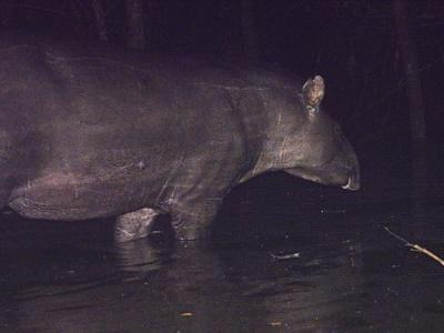 Brazilian Tapir caught on sensor camera wading through a swamp