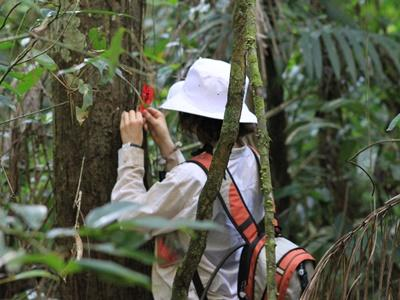 Volunteers mark trees where our released spider monkeys feed for later identification