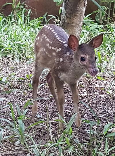 A baby red brocket deer rescued from town