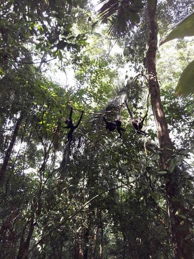 Released Spider Monkeys back where they belong