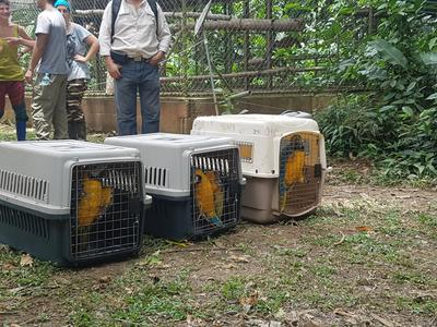Blue and yellow macaws awaiting release