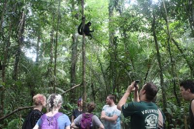 Monitoring the released spider monkeys