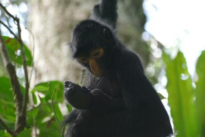 Mother and baby spider monkey doing well