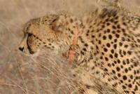 Female Cheetah at Makula Makete