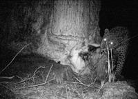 Leopard Caught on the Camera trap