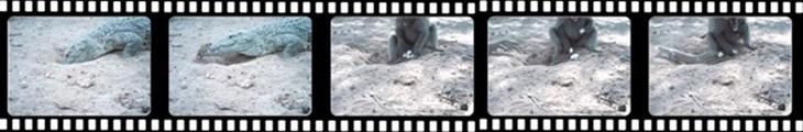 Leguaan and baboon attacking a nest