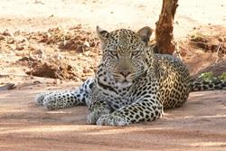 Leopard - Conservation project