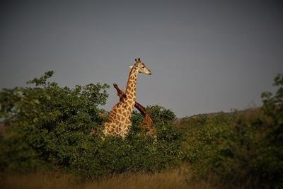 Projects Abroad Conservation volunteers witness two bull giraffes fighting over a mate in a Kwa Tuli Nature Reserve sighting in Botswana.