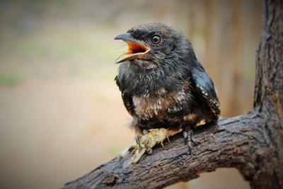 Projects Abroad conservation volunteers rescued a baby bird, a Fork-tailed Drongo, and hand-reared him