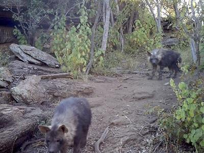Projects Abroad volunteers set up camera traps to record brown hyena cubs near their den in Wild at Tuli reserve, Botswana