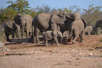Elephants drinking at the water hole
