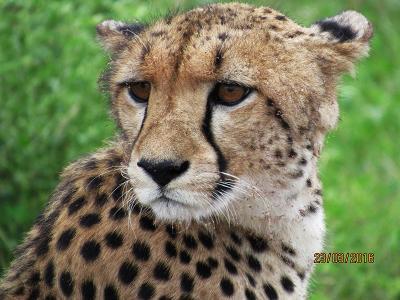A cheetah surveys its surroundings