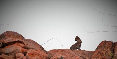 A four-month-old leopard cub on a koppie