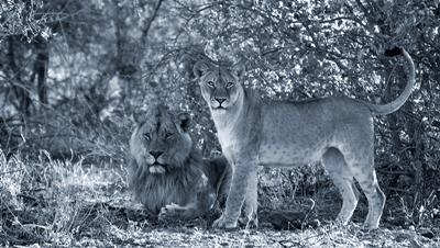 A male and female lion in the shade