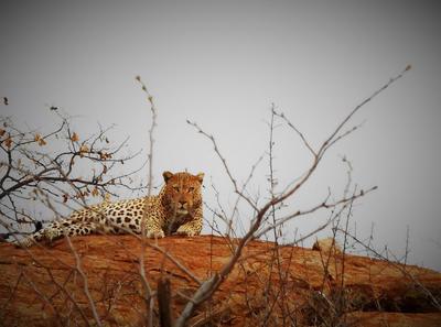 Nikito the male leopard