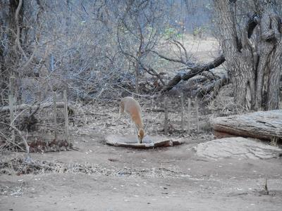 Steenbok in the camp