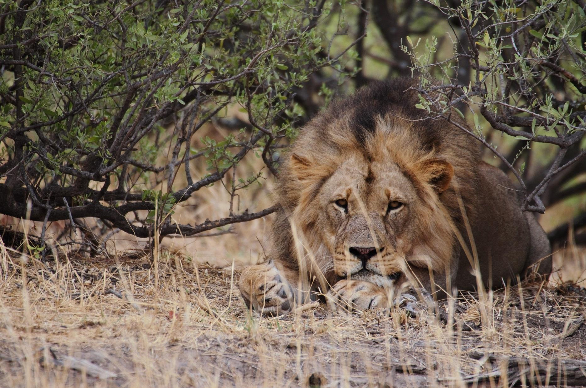 Lion spotting during a game drive