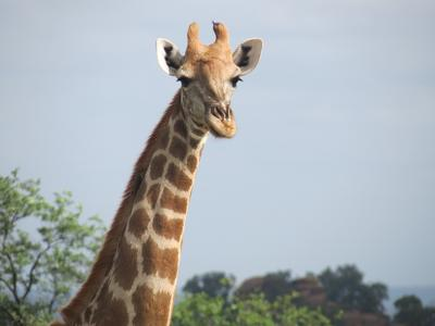 A giraffe is spotted