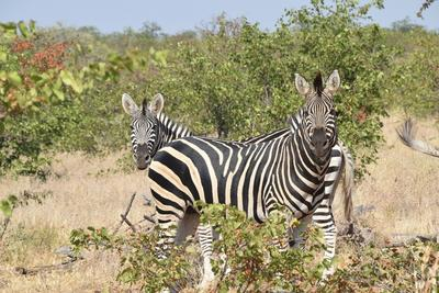 Zebras spotted in Botswana