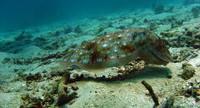 Pharao cuttlefish posing