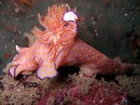 Enormous nudibranch