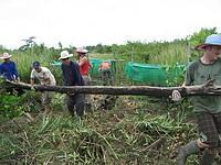 Log removal from mangrove nursery