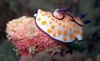 Twin magnificent sea slug