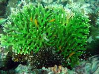Cleaned branching coral