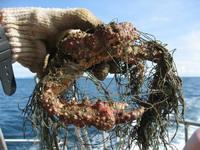 Crab found untangled at Mu SangNua