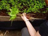Mahogany seedlings
