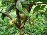 Cocoa fruits-chocolate!