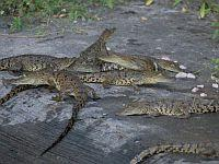 Baby crocodiles