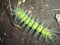 Funky Caterpillar - species unknown